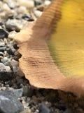 Gouden ginkgo gaat dicht omhoog weg stock afbeeldingen