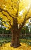 Gouden ginkgoboom Stock Fotografie