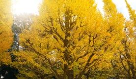 Gouden ginkgoboom Stock Afbeeldingen