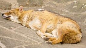 Gouden goudhoudende jakhals bont vermoeide canis hebbend rust die na maaltijd op de rotsen in nationaal park liggen stock footage