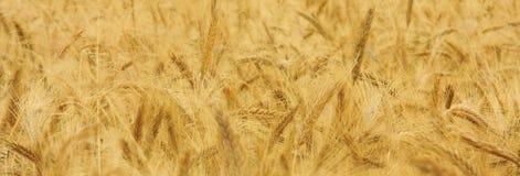 Gouden graan Stock Fotografie