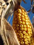 Gouden graan in cornfield Royalty-vrije Stock Afbeeldingen