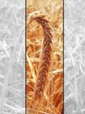 Gouden graangewas op het gebied Stock Foto