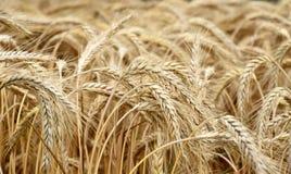 Gouden graangewassengebied, korrel Stock Afbeeldingen