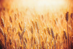 Gouden Graangewassengebied met oren van tarwe, openlucht royalty-vrije stock foto