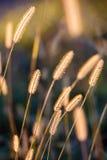 Gouden gras dat door de zon wordt aangestoken Royalty-vrije Stock Foto