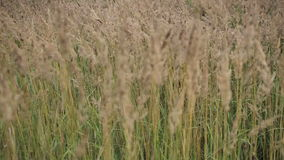 Gouden gras die in de wind blazen stock videobeelden