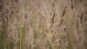 Gouden gras op de wind stock video