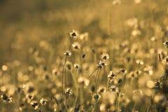 Gouden grasbloemen stock foto