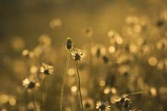 Gouden grasbloemen stock foto's