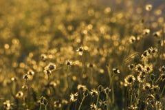 Gouden grasbloemen royalty-vrije stock foto's