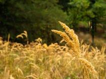 Gouden grassen in het warme de herfstlicht stock afbeelding