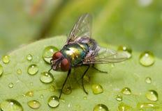 Gouden-groene flessenvlieg op een blad, drie - kwarten Royalty-vrije Stock Foto's