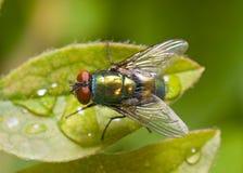 Gouden-groene flessenvlieg op een blad, hoogste mening Stock Afbeeldingen