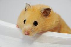 Gouden hamster Stock Foto
