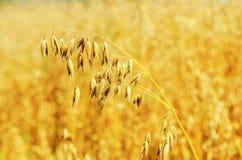 Gouden haver op gebied Stock Afbeelding
