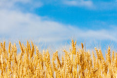 Gouden havergebied Stock Afbeelding