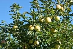 Gouden - heerlijke Apple-Boom Royalty-vrije Stock Afbeelding