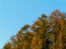 Gouden Herfstbomen tegen Blauwe Hemel stock afbeeldingen