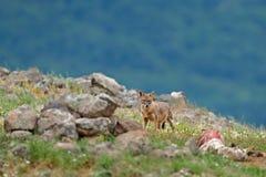 Gouden jakhals, goudhoudende, het voeden van Canis scène op weide, Madzharovo, Oostelijke Rhodopes, Bulgarije Het wild van Balkan royalty-vrije stock foto's