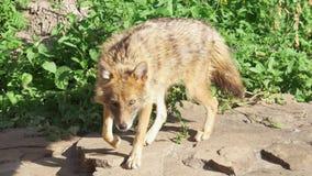 Gouden jakhals het snuiven grond in bos, die grondgebied merken De gouden wolf jacht in nationaal park stock footage