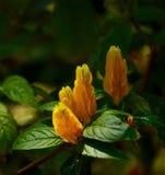 Gouden kaars-als bloemen Royalty-vrije Stock Afbeeldingen
