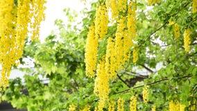 Gouden ketting   Laburnum vulgare stock videobeelden