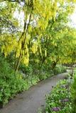 Gouden ketting   Laburnum vulgare royalty-vrije stock foto