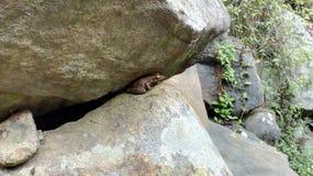 Gouden kikkerzitting op rots in Forrest Stock Afbeeldingen