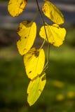 Gouden kleurenbladeren Stock Fotografie