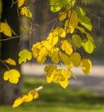 Gouden kleurenbladeren Stock Afbeelding