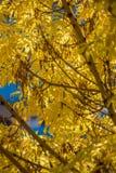 Gouden kleurenbladeren in de herfst Stock Foto