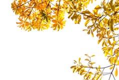 Gouden kleurenbladeren op duidelijke hemel en zonlichtachtergrond Royalty-vrije Stock Afbeelding