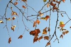 Gouden Kleurenbladeren op Takken Stock Foto's