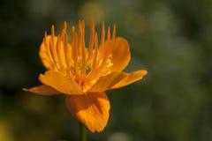 Gouden koninginbloem Royalty-vrije Stock Foto's