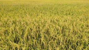 gouden korrel en gouden rijst in mijn landbouwbedrijf Stock Afbeeldingen