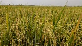 gouden korrel en gouden rijst in mijn landbouwbedrijf Stock Foto