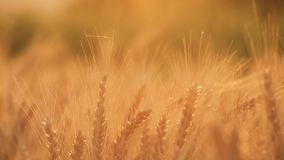 Gouden korrel klaar voor oogst het groeien op een landbouwbedrijfgebied Het gebied van de tarwe De oren van gele tarwe sluiten om stock video