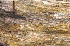 Gouden korrel van een felled boom stock afbeelding