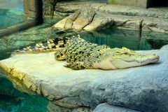 Gouden krokodil, een hybride van Zoutwater en Siamese Krokodillen royalty-vrije stock fotografie