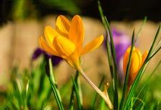 Gouden krokusbloem in de weide Stock Fotografie