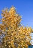 Gouden kronen van de berkbomen op blauwe hemelachtergrond Royalty-vrije Stock Foto