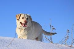 Gouden Labrador Royalty-vrije Stock Afbeelding