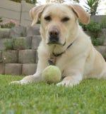 Gouden Labrador 1 Stock Foto's
