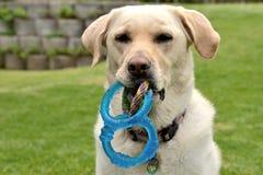 Gouden Labrador 4 Royalty-vrije Stock Fotografie