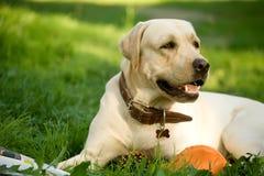 Gouden Labrador retriever stock afbeelding