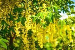 Gouden Laburnum anagyroides Stock Foto's