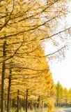 Gouden lariks in de herfst Stock Foto