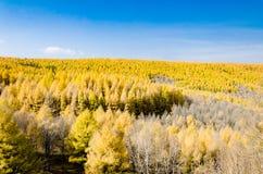 Gouden lariks in de herfst Royalty-vrije Stock Afbeeldingen