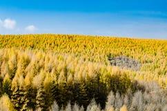 Gouden lariks in de herfst Royalty-vrije Stock Afbeelding